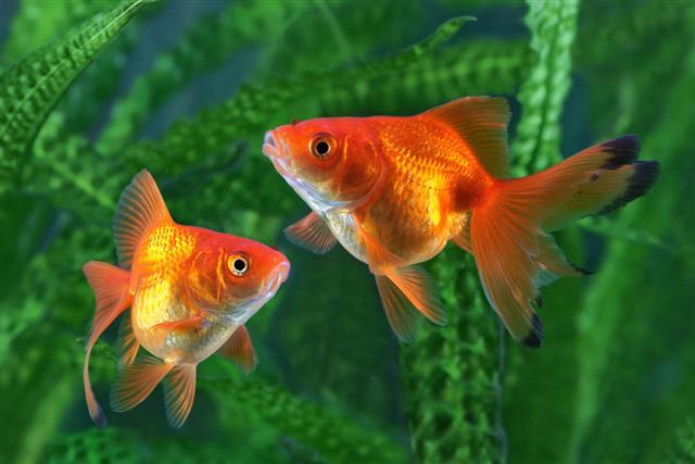 two Goldfish