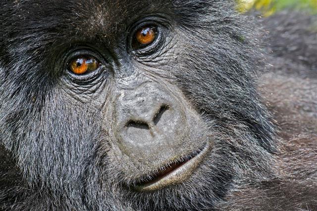 Gorilla nose close up
