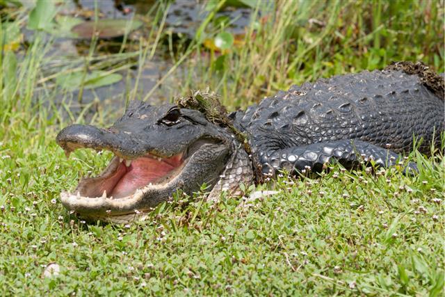 Alligator mouth photo