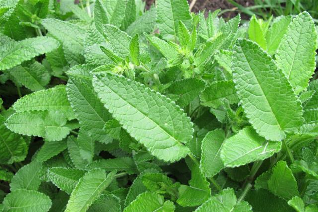 Crosne leaves