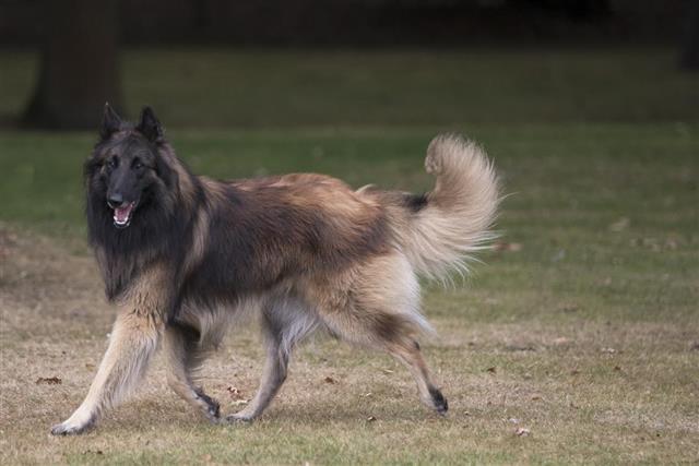 Dog, Belgian Shepherd Tervuren, running