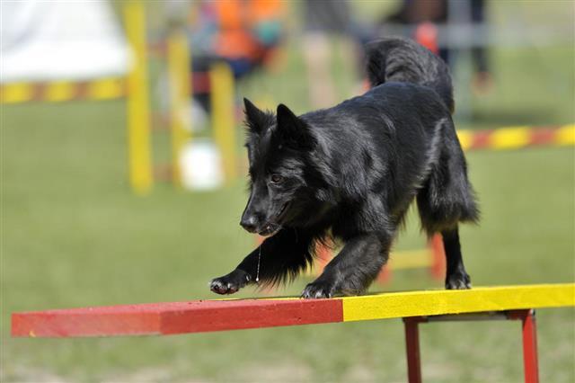 Belgian sheepdog groenendael