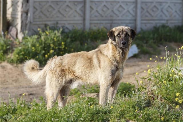 Anatolian Shepherd Dog???
