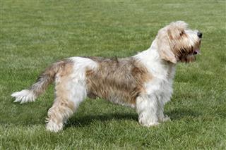 Petit basset dog
