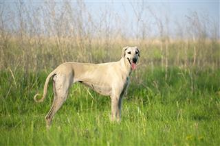 Sloughi dog