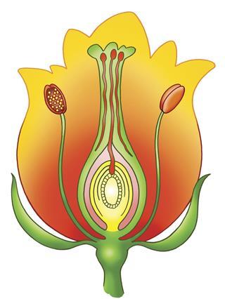 Fertilization of Flower