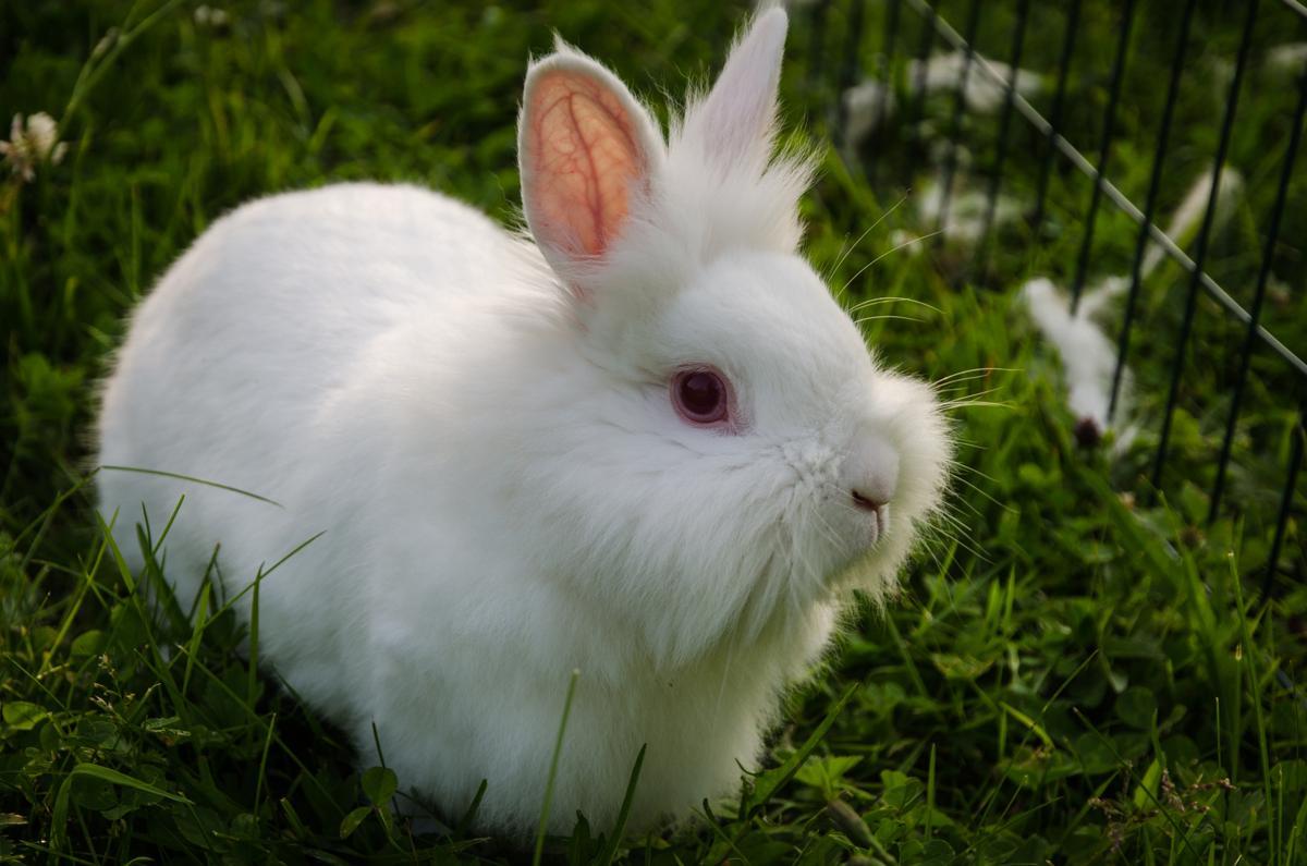 Lionhead Rabbit Information