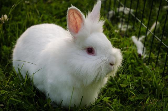 Lionhead rabbit,Animal