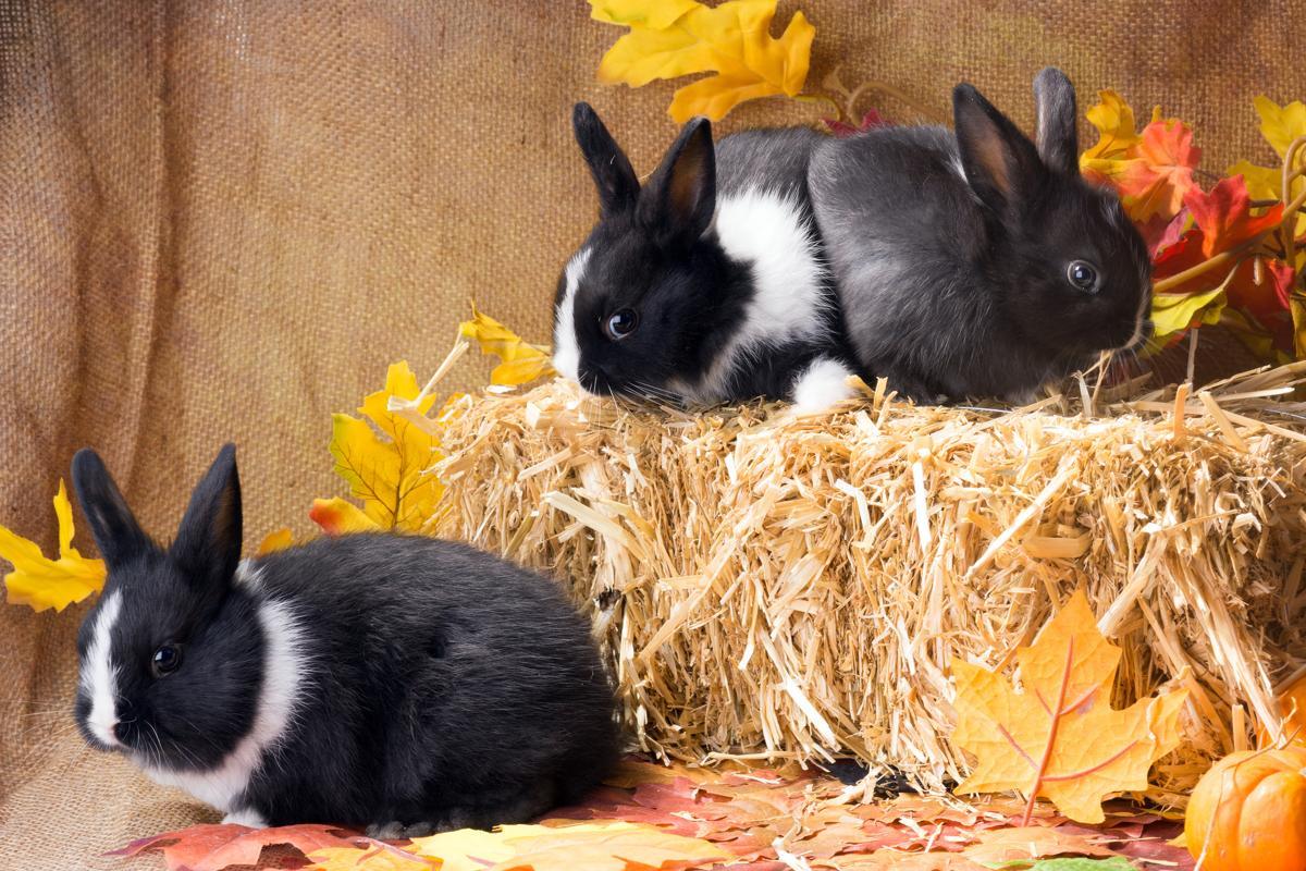 rabbit care Dutch rabbit care - petponder                petpondercom/dutch-rabbit-care.