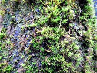 Bryophytes,Non-flowering plant