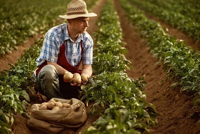 Farmer looking his potato harvest at field row