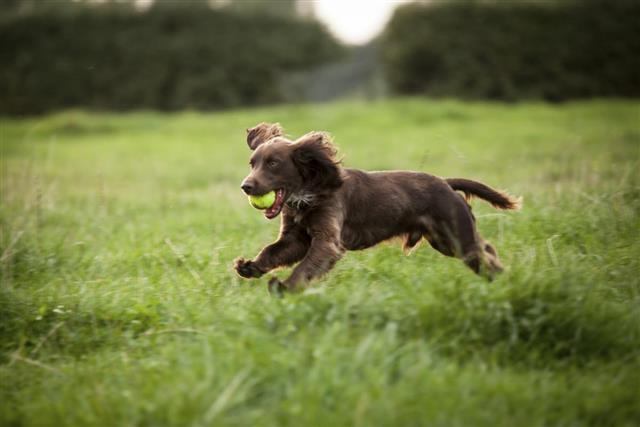 Boykin Spaniel male dog