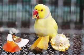 Yellow indian ringneck parakeet feeding in cage