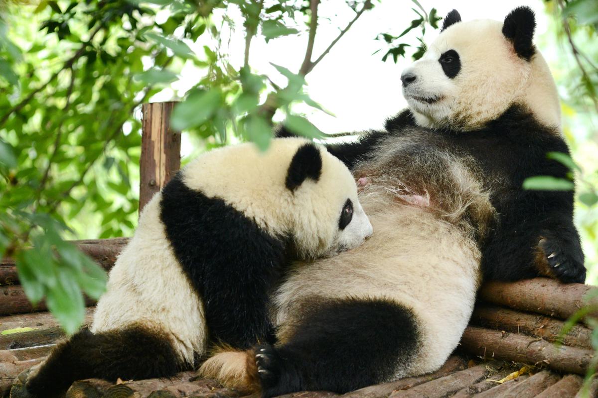 Panda Body Paint Design