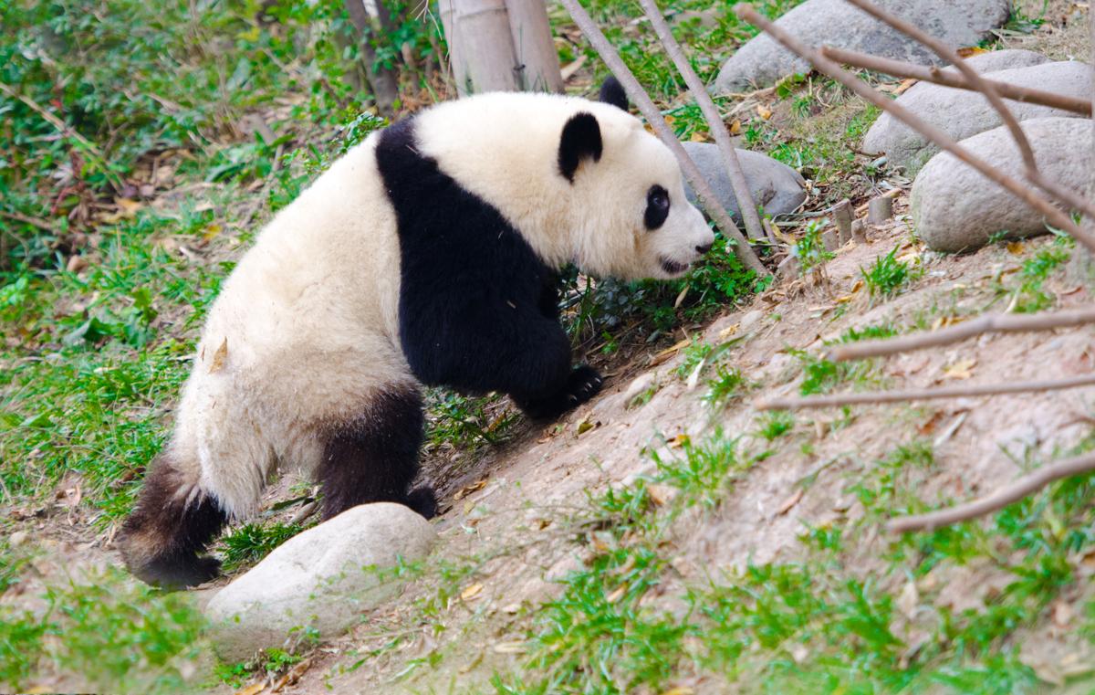 Giant Panda Behavior