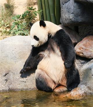 Panda near water