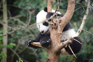 Baby Panda on tree