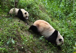 Two Giant Panda