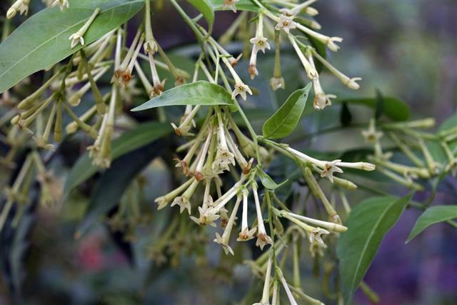 Cestrum nocturnum plant