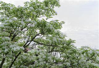 white chinese fringetree