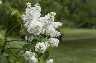 White Lilac Tree
