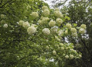White spring blooming