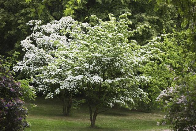 Dogwood, Tree