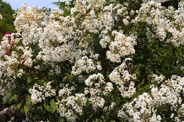 Crepe Myrtle Tree, Blooming, White Flowers