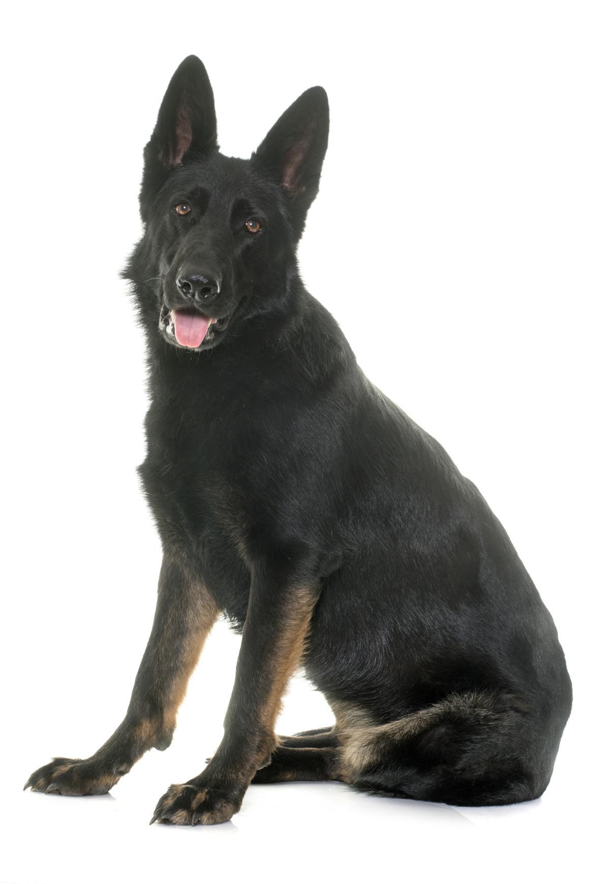 Black German Shepherd Dog Names