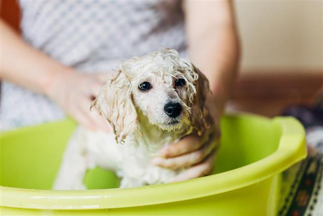 Dwarf poodle puppy bathing