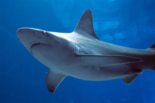 Shark, Fish