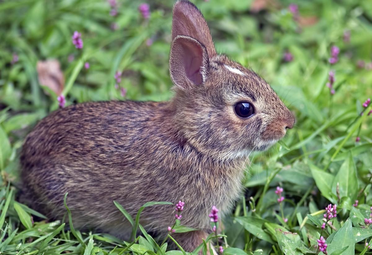 Cottontail Rabbit Facts
