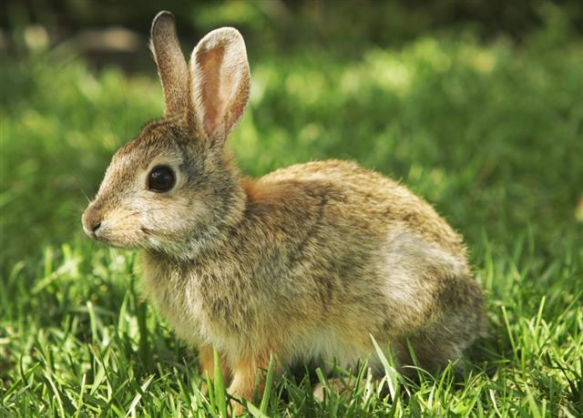 Cottontail Baby Rabbit Sylvilagus nuttallii