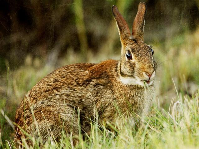Swamp Rabbit Portrait