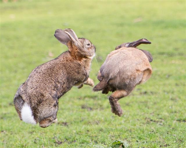 Bunny fight!