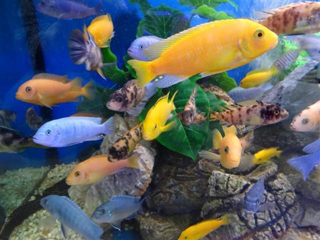Malawi cichlid aquarium fish