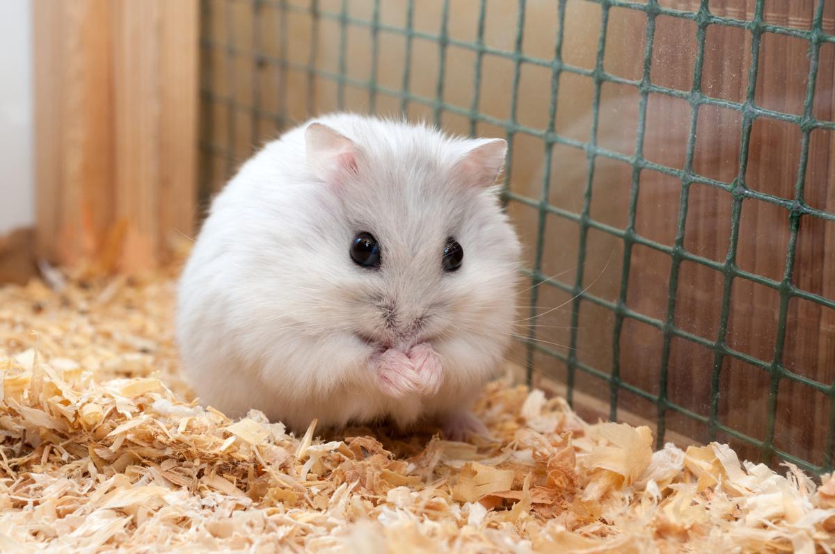 Hamster De Video
