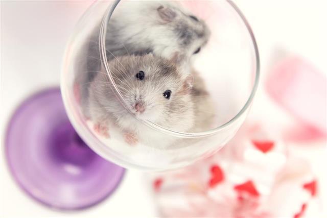 dwarf hamster in a glass