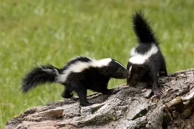 Skunk Buddies