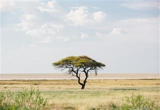 Acacia Tree in Etosha, Namibia