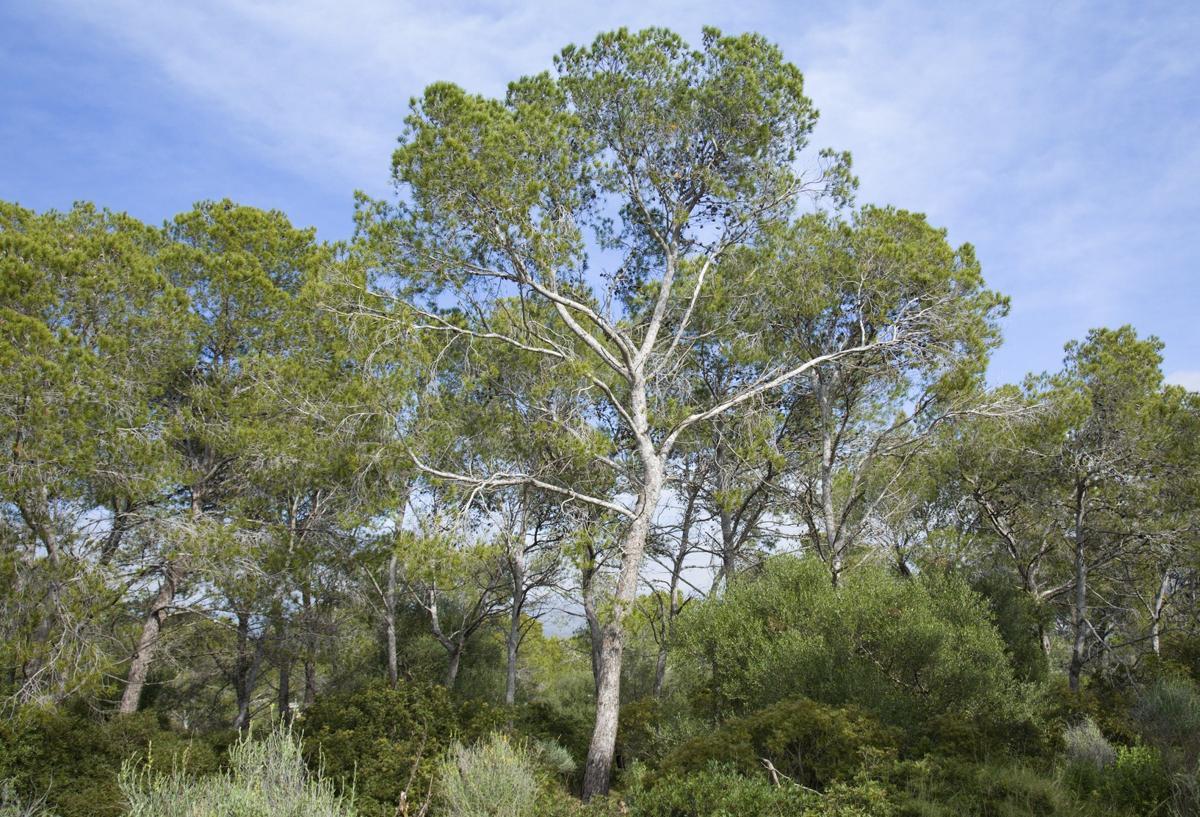 How Fast Do Pine Trees Grow