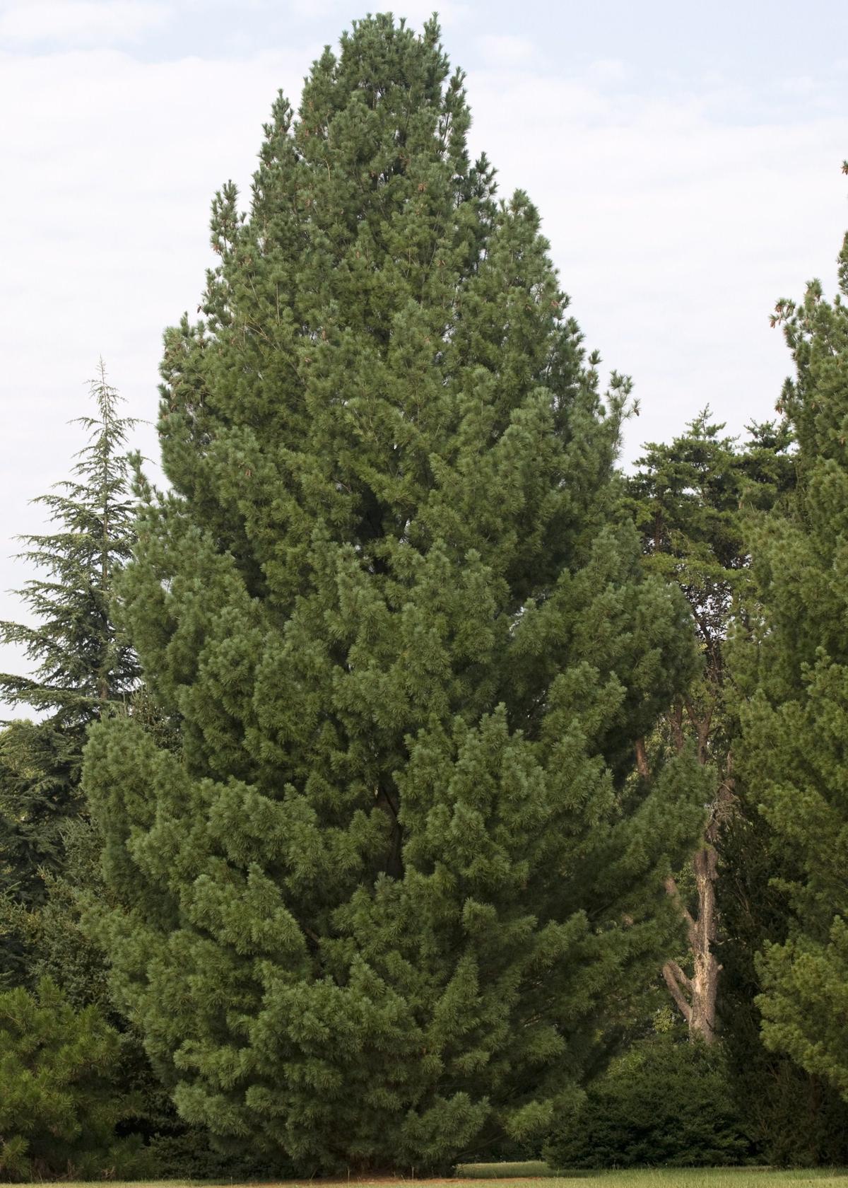 How Fast Do Pine Trees Grow?