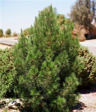 Eldarica pine