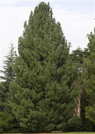 Pinus strobus tree