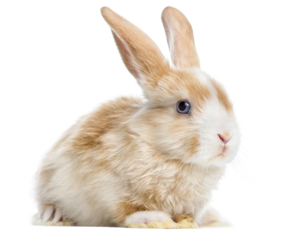 netherland dwarf rabbit colors