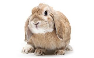 Grey Dwarf Rabbit