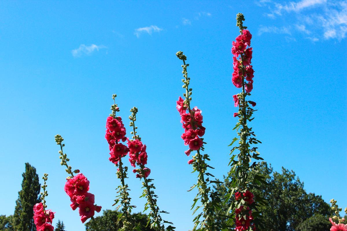 Perennial plant identification image of tall pink red hollyhock flowers alcea rosea biennial mightylinksfo