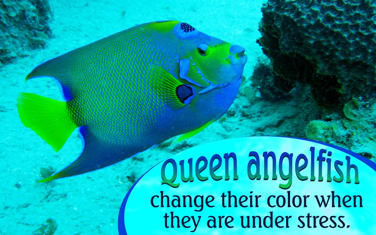 Queen Angelfish Adaptations