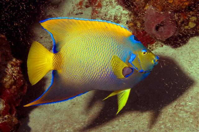 Beautiful Queen Angelfish