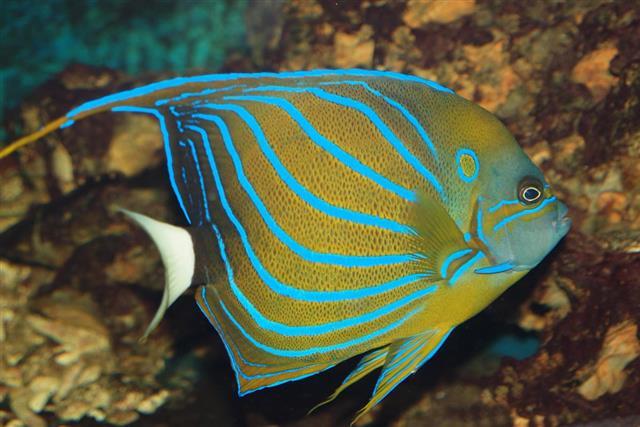Cute Queen angelfish